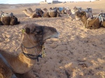 Camels At Erg Chebbi