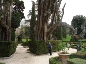 A 400 Year Old Specimen (Cypress Tree)