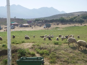 Livestock Grazing by the Roadside