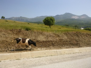 Cow On The Run