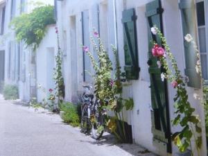 Hollyhocks In Bloom